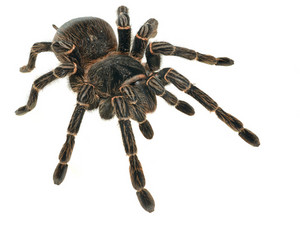 Giant tarantula Lasiodora parahybana isolated