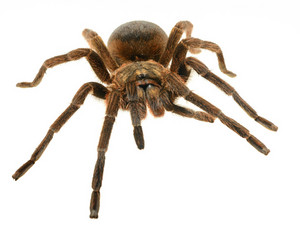 Giant tarantula Phormictopus platus isolated