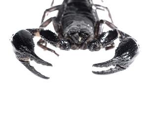 Scorpion (Heterometrus) isolated on white. No shadow