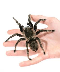 Black curly-hair tarantula Brachypelma albopilosum on a hand isolated. No shadow