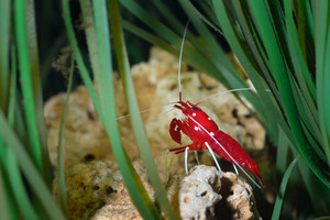 Small ornamental red shrimp in aquarium environment
