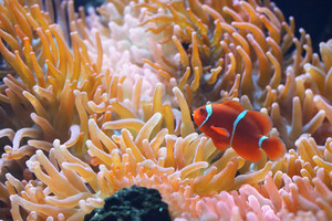 Amphiprion Ocellaris Clownfish In Marine Aquarium with anemones