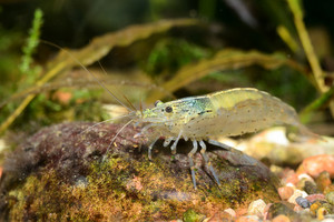 Exotic freshwater shrimp in aquarium