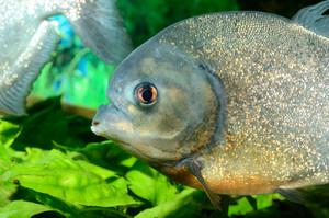 Piranha in aquarium