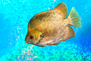 Os peixes marinhos Scatophagus argus atromaculatus