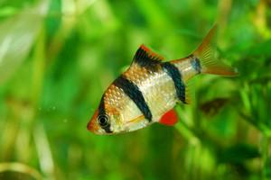 Tiger barb Puntius tetrazona in aquarium