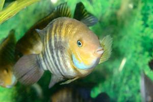 Cichlasoma sajica fish in aquarium