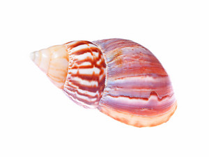 Sea mollusc colorful shell isolated