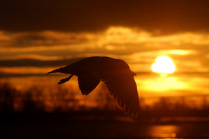 Bird at the sunset