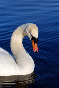 White swan on blue still water