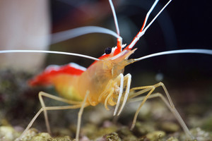 Lysmata amboinensis cleaner shrimp in marine aquarium