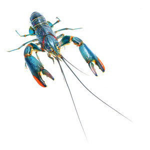 Australian blue crayfish Cherax quadricarinatus isolated