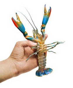 Colorful Australian blue crayfish Cherax quadricarinatus in the hand. Isolated