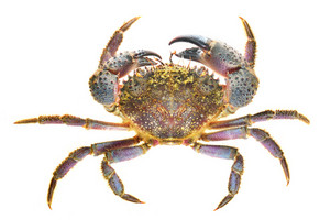 Colorful stone or warty crab Eriphia verrucosa isolated