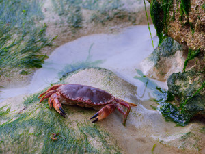 Edible crab (Cancer pagurus) on sand covered with algi during low tide