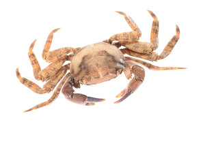 Crab isolared on white