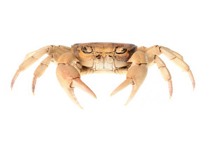 River crab isolated on white