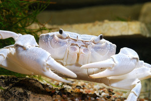 River crab Potamon sp. in natural environment
