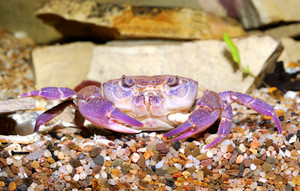 River crab Potamon sp. in aquariu. Purple morph