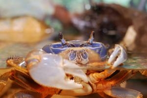 Rainbow crab