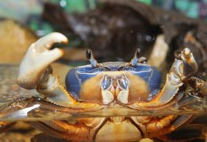Rainbow crab Cardisoma armatum closeup in an aquarium