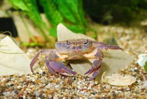 River crab Potamon sp. in aquarium. Purple morph