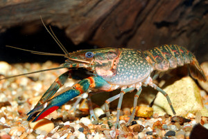 Colorful Australian blue crayfish - cherax quadricarinatus in aquarium