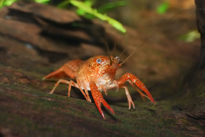 Louisiana swamp crayfish Procambarus clarkii in a natural underwater environment