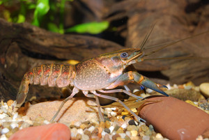 Young blue crayfish
