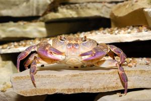 River crab Potamon sp. in natural environment