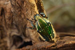Green flower beetle (Chelorrhina polyphemus confluens) in terrarium. Flower chafer