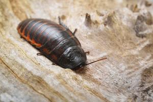 Black giant madagascar hissing cockroach in natural environment. Princisia vanwaerebeki.