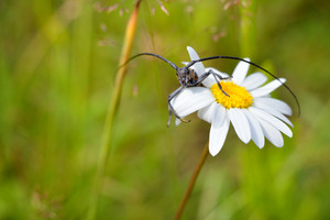 Cute black bug with long antennae sitting on a blooming white daisy on a summer meadow