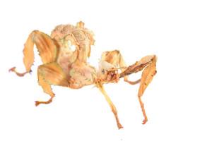 Stick insect Extatosoma tiaratum isolated