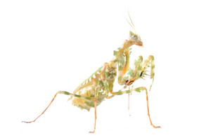 Praying mantis Blepharopsis meniÑa isolated