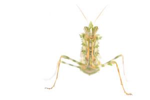 Praying mantis Blepharopsis meniÑa isolated