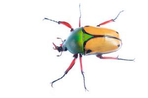 Large scarab beetle Eudicella smithii