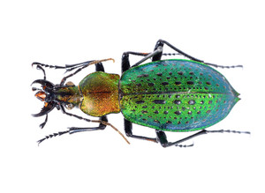 Colorful ground beetle isolated