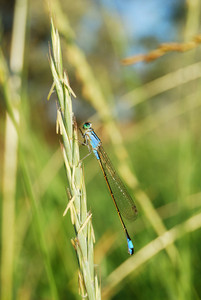 Turquoise color dragonfly