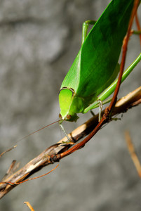 Exotic green grasshopper