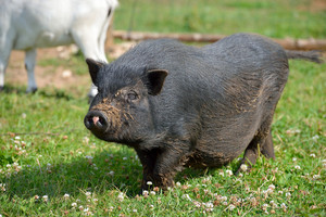 Fat black pot belly pig walking on green summer grass on a farm