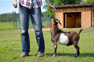 Small brown and white goat playing with a man on a farm