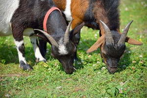 Two goats feeding on green summer grass