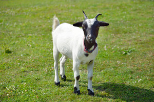 White goat with black head standing on green summer lawn