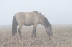 Horse feeding in fog