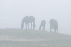 Horse family in fog