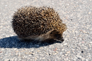 Wild hedgehog on the asphalt road