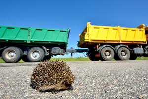 Wild Hedgehog crossing the highway and a truck on the background