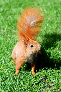 Cute orange squirrel standing on the grass in sunny day