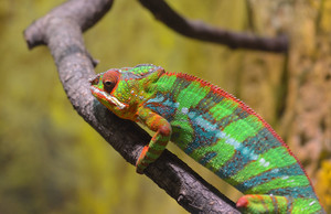 Colorful Panther chameleon (furcifer pardalis) resting on a branch in natural environment.